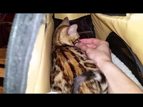 Baby Bengal Kitten - 10 Weeks Old - 1st Day Home Pt. 3