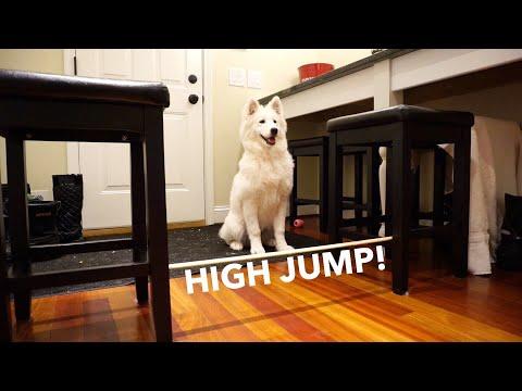 Puppy Olympics: High Jump! - Nukka the Samoyed
