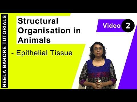 Structural Organisation in Animals - Epithelial Tissue