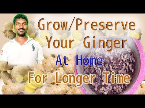 Preserving My Ginger For Long Time- Indoors or in a shaded region at home