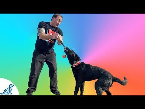 Dog Tug Game- How To Play Tug Of War With Your Dog
