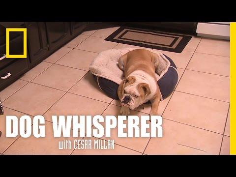 Bulldog in Trouble | Dog Whisperer