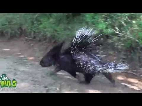 Release of Porcupine !