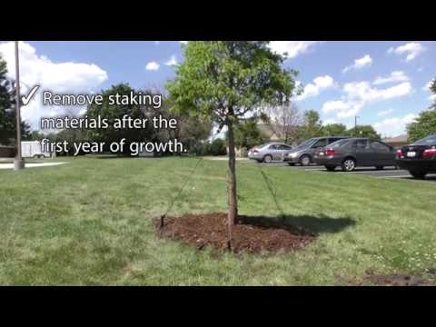 Best Practices - Staking a Tree