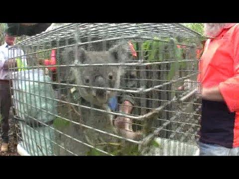 Lizzy the rescued Koala