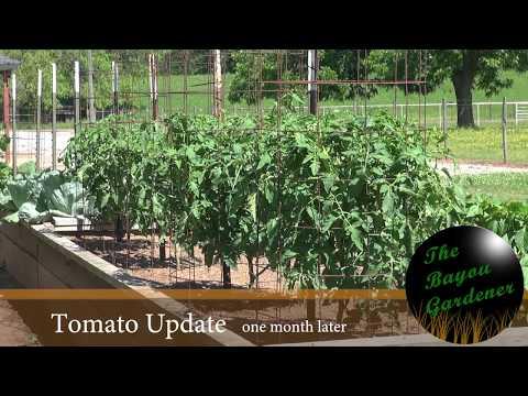 Tomato Update - June 2017