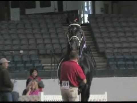 Windermere Farms World Champion Percheron Stallion