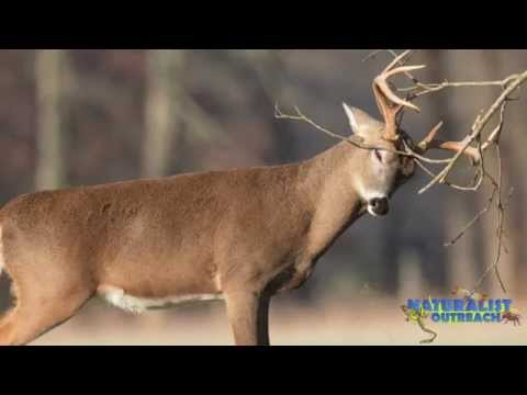 Oh Deer! White-Tailed Deer Biology