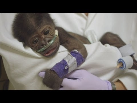 Baby gorilla critical with pneumonia after emergency caesarian section in San Diego Zoo
