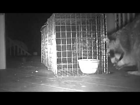 Raccoon outsmarts food trap