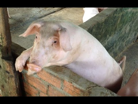Amazing Traditional Fishing in My Village - How to fishing in Cambodia - Khmer Feeding Pigs