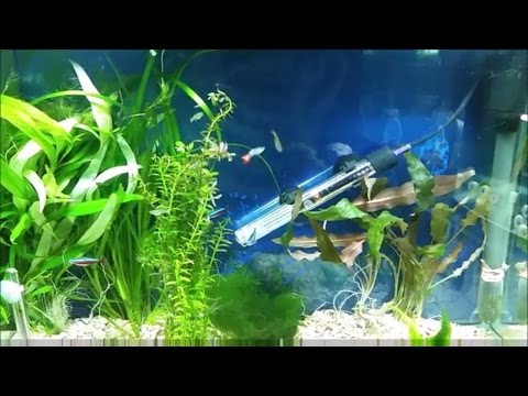 Aquarium plants for guppies - live plants as hiding places for guppy newborn fry and female in labor