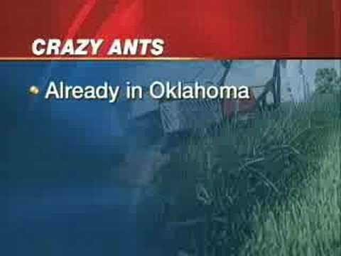 'Crazy Ants' That Eat Electronics Marching To Oklahoma?