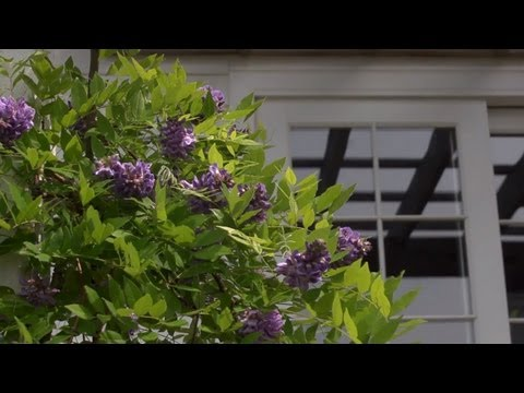 Growing Wisteria | At Home With P. Allen Smith