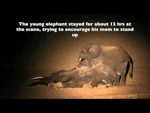 Zambia Elephant poaching