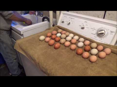Washing The Eggs. Looking at the birds. Eggs in the incubator. The Hobby Farm.