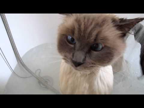 Bubsy My Ragdoll Cats bath time