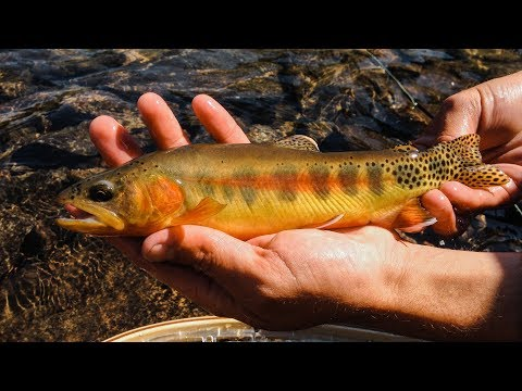 FLY FISHING FOR GOLDEN TROUT || Montana Alpine Wilderness || Excerpt from