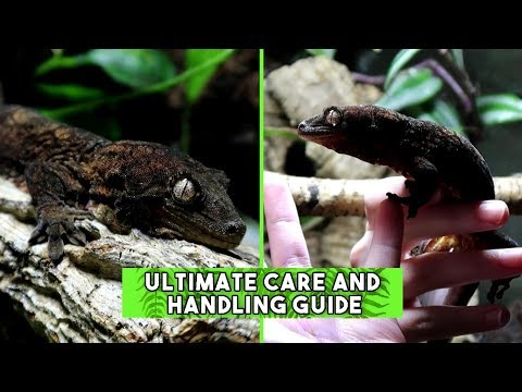 Mossy Prehensile-Tailed Gecko (Chahoua) - CARE & HANDLING GUIDE