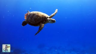 ► Underwater Marine Life: Sea Turtles, Coral Reef Fish, Ocean Fish & Relax Music (1080p HD)