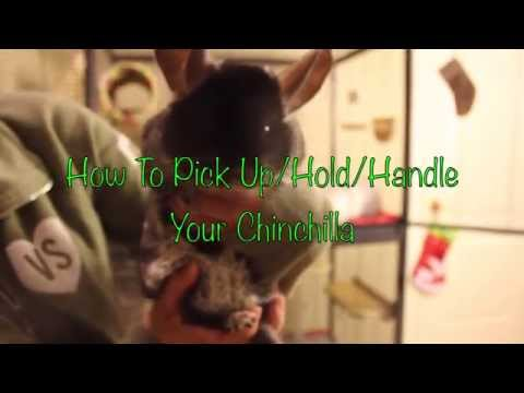 How To Pick Up and Hold Your Chinchilla