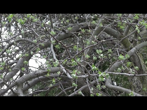 Pruning A Mighty Ugly Apple Tree