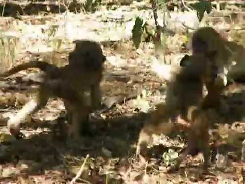 Monkeys at Victoria Falls Rest Camp Zimbabwe