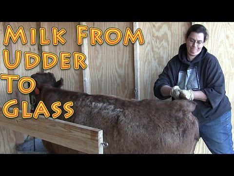 Milk From Udder To Glass at the Big Family Homestead