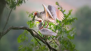 Live: Wild crested ibises take care of their precious baby in NW China