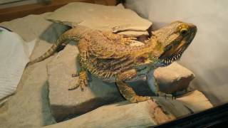Bearded Dragon Update # 3