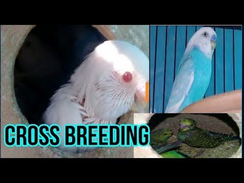 Budgies cross of Red eye & crested splits | Australian parrots cross breeding part 2
