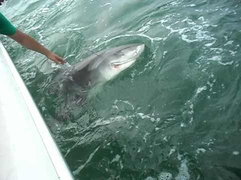Tiger Shark Myrtle Beach 2 (Ace's Up Fishing)