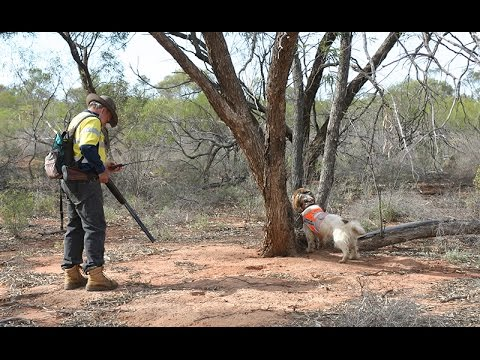 Sniffer dogs track feral cats in Western Queensland