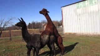 llama and alpaca walk as they
