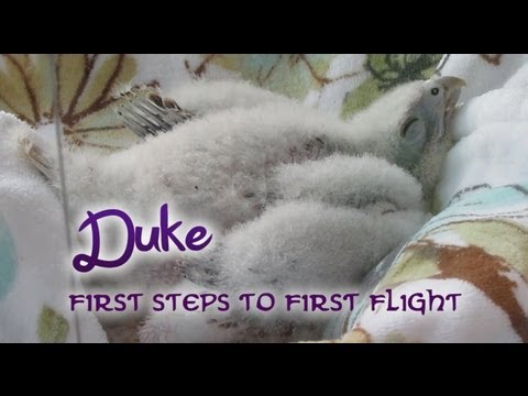 Duke the Lanner Falcon - From First Steps to First Flight
