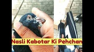 Patti Walay Kabootar By Nadeem Shehzad - Vidly xyz