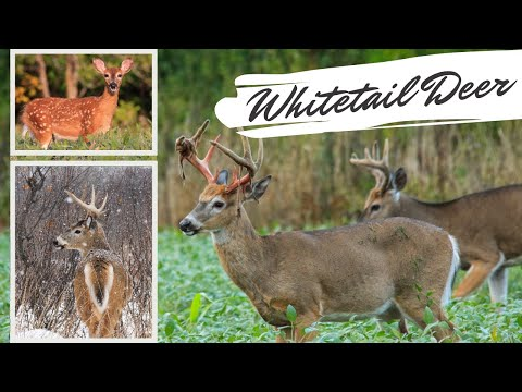 Whitetail Deer Compilation: Amazing Up Close Footage