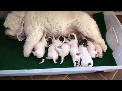Coton DeTulear Puppies
