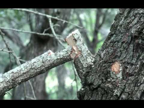 Tree Pruning - How To Properly Prune a Medium Sized Tree Branch