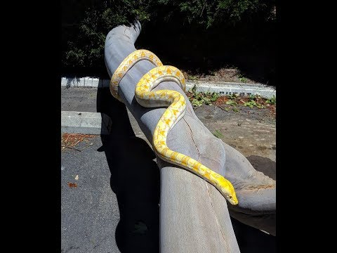 2 Year Old Reticulated Python (Male)