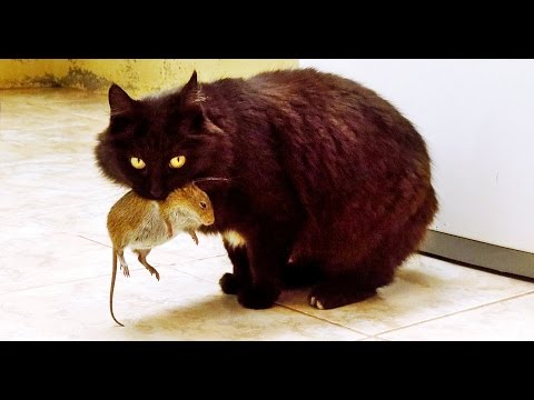 ☞ Cats The Best Hunters All Time | Cats Hunting Mouse | Cats Hunting | Funny Cat Videos 2016 New