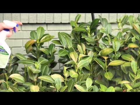How Do I Treat Powdery Mildew on Evergreen Shrubs? : Grow Guru