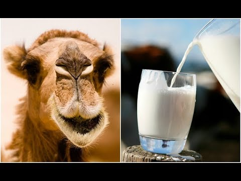 Health Benefits of Camel Milk that Cow Milk Cannot