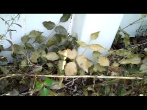 Get Rid of Poison Ivy Organically, with Vinegar