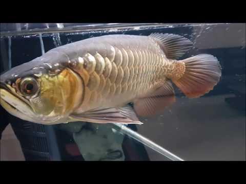 LIOW VIDEO: Testing my new weapon + flowerhorn, arowana & box turtle update 红樱枪试用