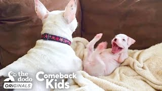 Nubby The 2-Legged Boxer Steals His Dad's Heart | The Dodo Comeback Kids