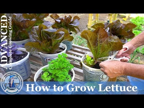 How to Grow Red Romaine Lettuce from Seed in Containers