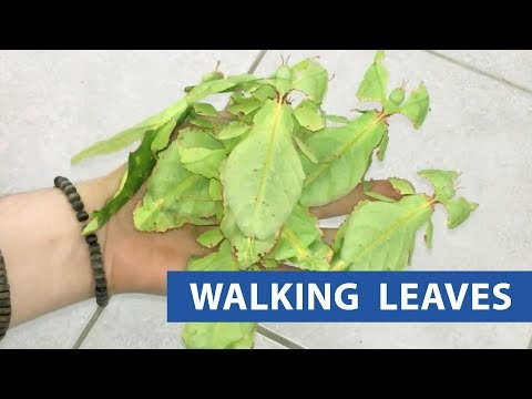 Leaf Insects Crawl On Hand