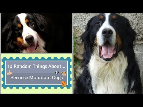 10 Random Things About...Bernese Mountain Dogs