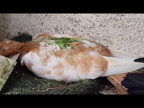 Symptoms  Newcastle disease Of pigeons (intestinal ) PARAMYXOVIRUS PMV symptoms